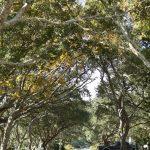 Beaufort Trees